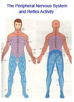 nervous_system